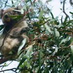 Nonstop Koala Action