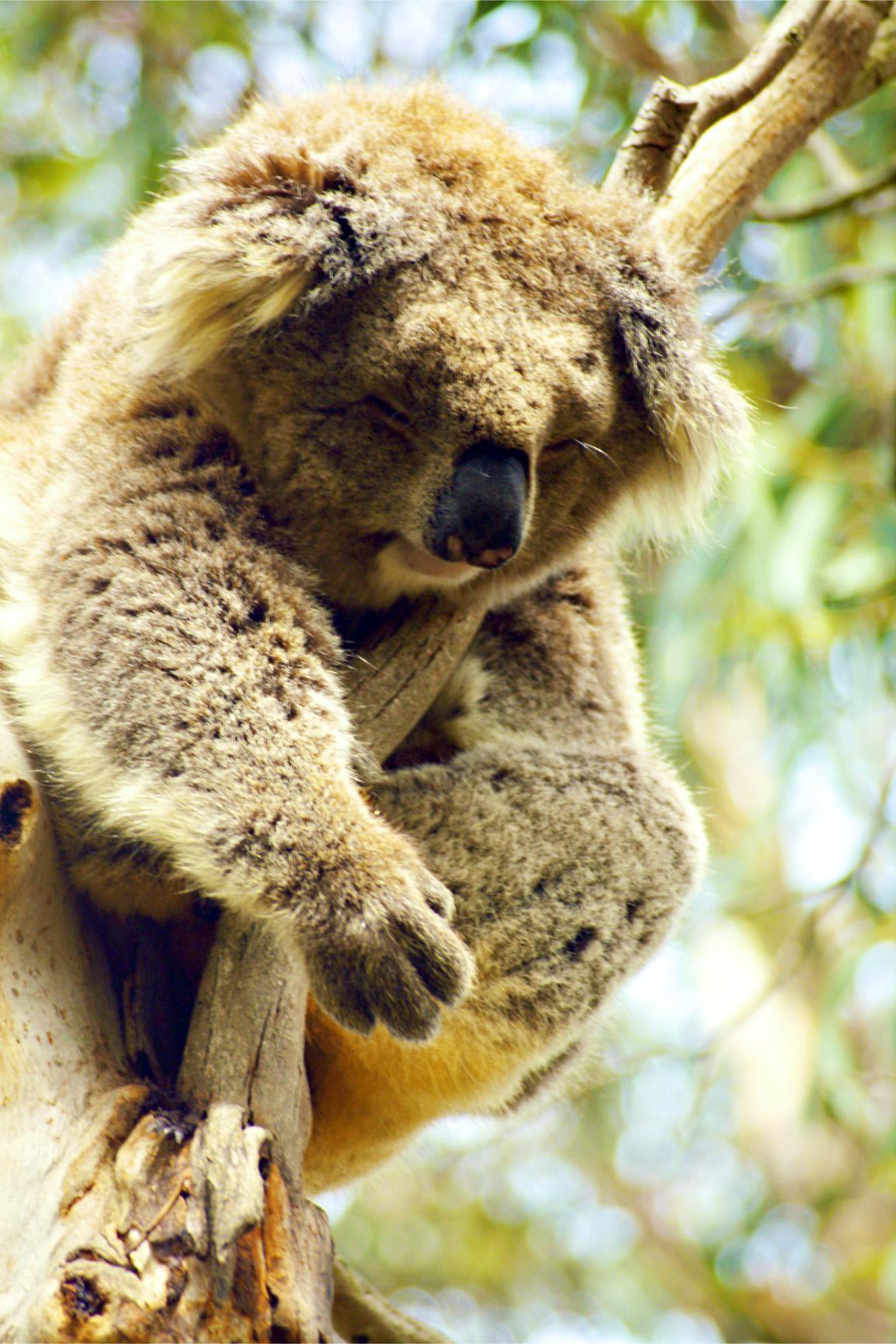The Best Koala Ever
