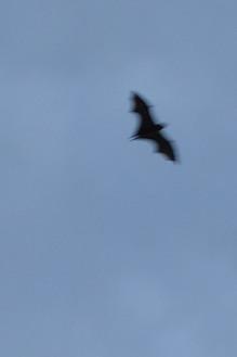 Bat in Sydney