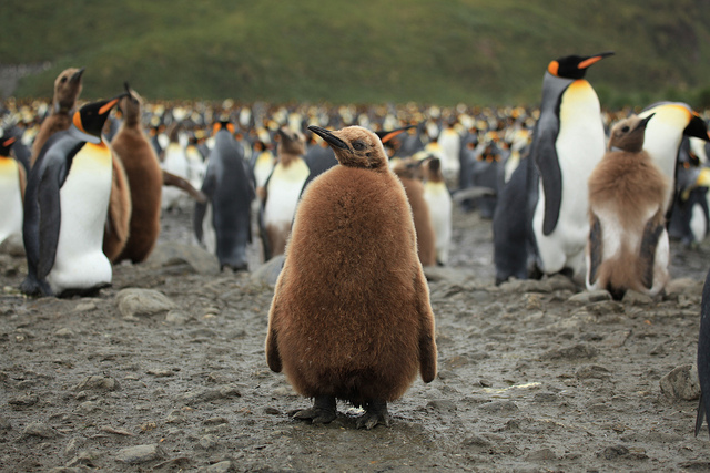 King Penguin Chick on South Georgia Island | International ...
